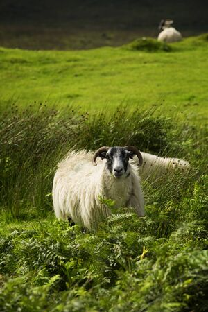 grazing land: Black face sheep grazing in a land in Scotland Stock Photo