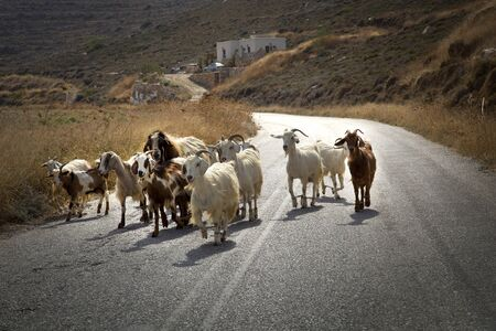 Goats herd in the middle of the road in Naxos, Greece Stock Photo