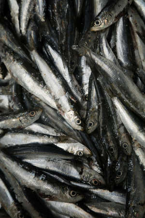 sardinas: sardinas frescas en un mercado para la venta
