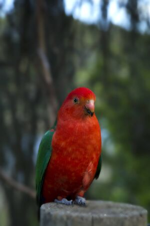 king parrot: Male australia red parrot on a wood in a forest