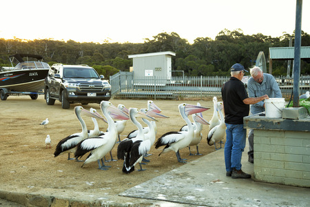 CROAJIGOLONG, AUSTRALIA - NOV. 4th, 2016:Pelicans begging for food on pier in National park Croajigolong, in Victoria. Due to the popularity of open water sports, the habitat of this pelican has suffered considerably less than more vegetated wetlands thro