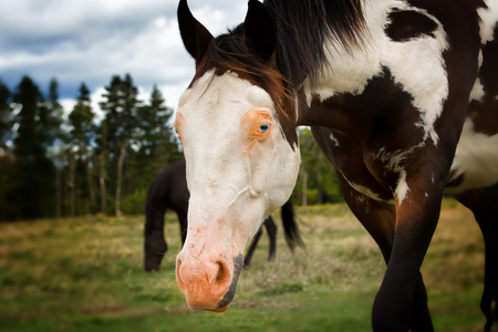 appaloosa: Beautiful horse with white face, pink nose and blue eye.