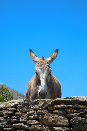 Donkey in a blue sky posing for the camera in Sifnos in Greece