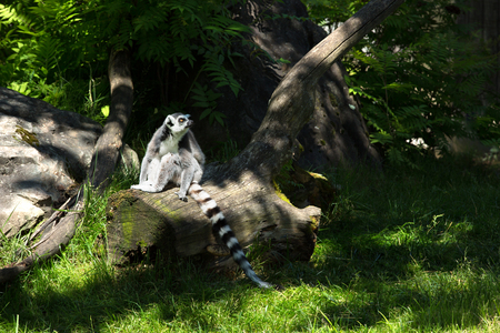 Ring-tailed lemur or Lemur catta standing on a dead tree in a forest