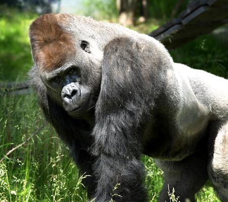 Retrato de un enorme gorila mirando a la cámara