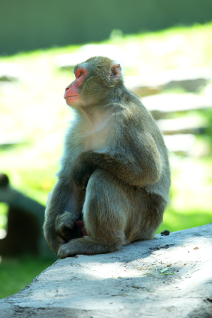 The Japanese macaque or Macaca fuscata also known as the snow monkey, is a terrestrial Old World monkey species that is native to Japan