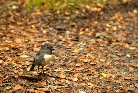 Cute little South Island robin a sparrow-sized bird found only in New Zealand, where it has the status of a protected endemic species. Stok Fotoğraf