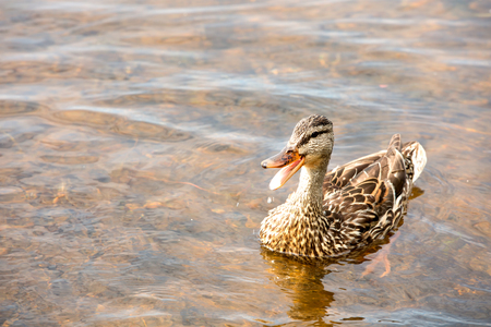 Duck with mouth wide open floating in a lake Stock Photo