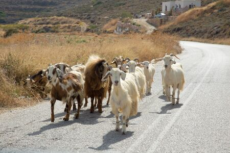 Herd of goats walking in the middle of the road at Sifnos in Greece Foto de archivo
