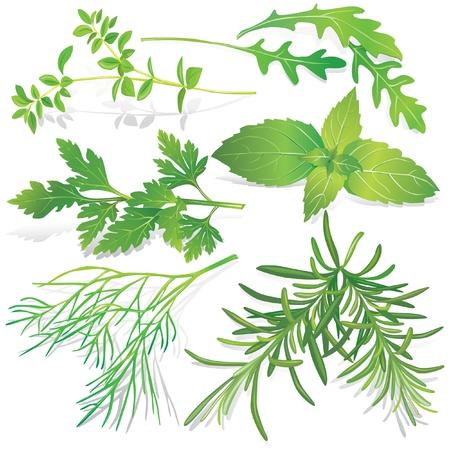 Collection des herbes fraîches
