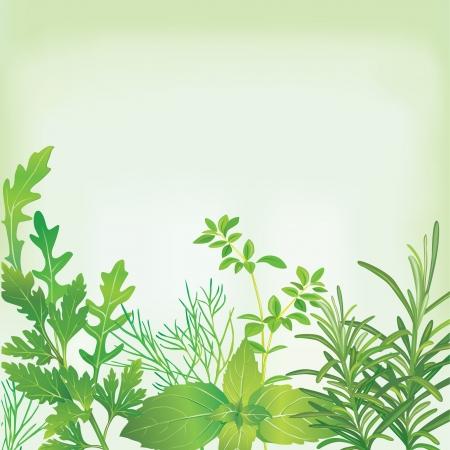 basilico: Marco de hierbas frescas Vectores
