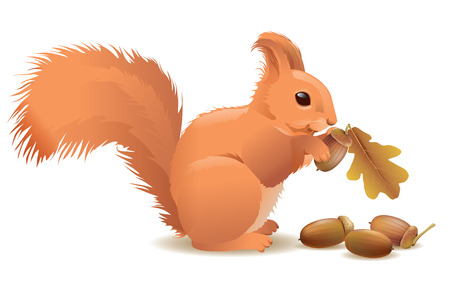 red squirrel: Squirrel with acorns.