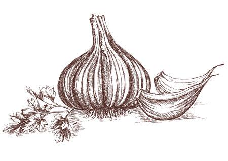 garlic clove: Garlic and parsley hand-drawing.  Illustration