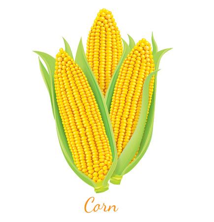 Rijp en verse maïs op de kolf.