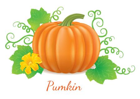 ripe: Fresh, delicious and ripe pumpkin.