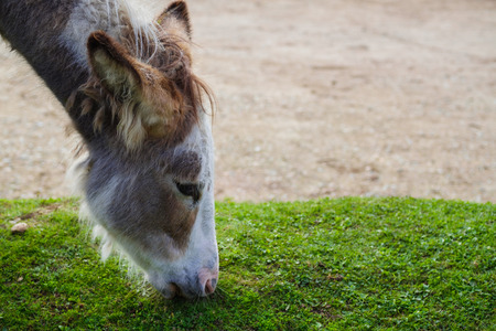 Wild donkey eating green grass Stock Photo