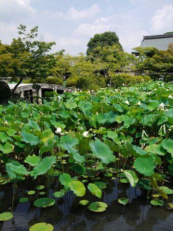 lotus pond photo