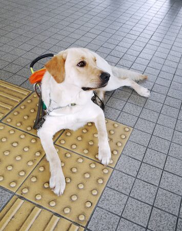 faithfulness: Guide dog sits on guide brick Stock Photo