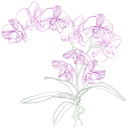 twigs: Phalaenopsis orchid  Illustration