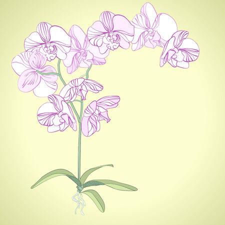 Phalaenopsis orchid  Vector