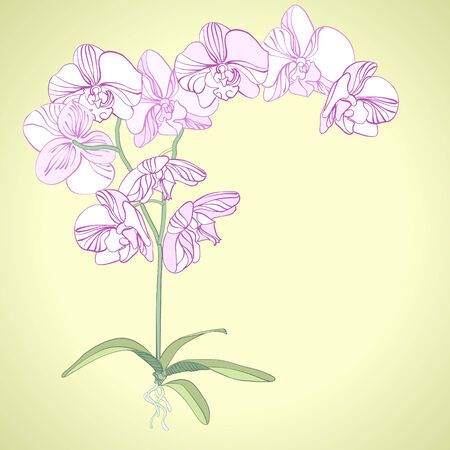orchid branch: Phalaenopsis orchid  Illustration