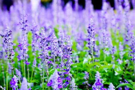 lavender field in clear of weather Foto de archivo