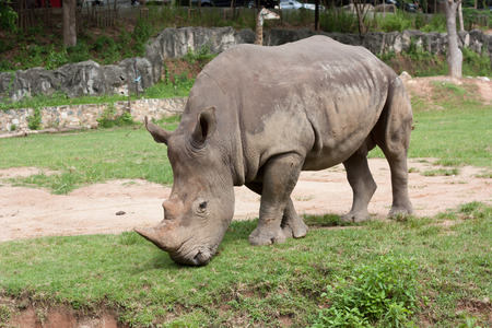 Rhino eating grass in the zoo photo