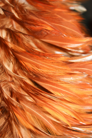 closeup of chicken feather from duster photo
