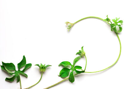 creeping plant: creeping plant on white background