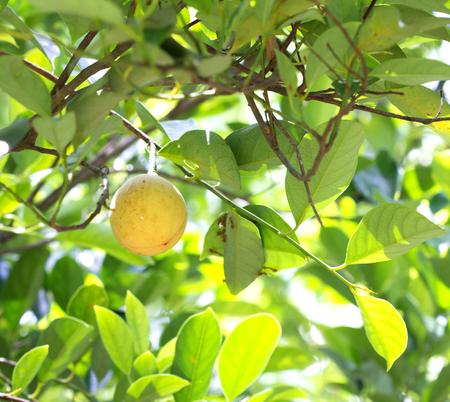 ナツメグの果物の木 写真素材