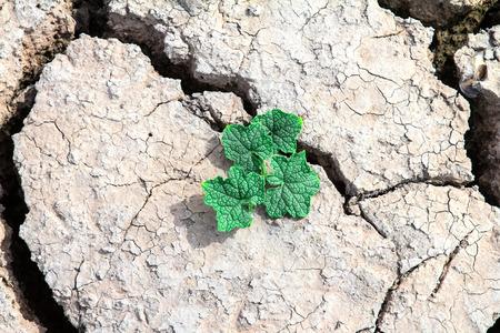 crecimiento planta: crecimiento de las plantas a trav�s hacia fuera barro agrietado seca Foto de archivo