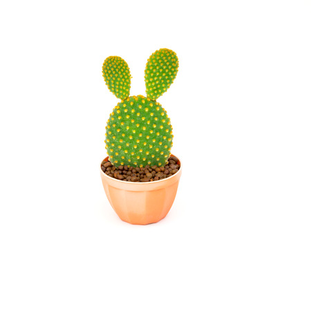 Opuntia cactus in brown pot isolated on white background photo