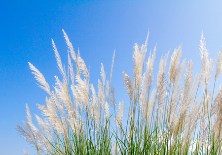 white Feather Grass in wind with sky background photo
