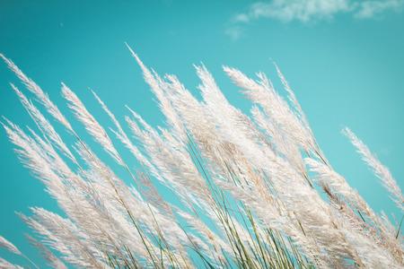 abstracte zachtheid witte Veer Gras met retro hemel blauwe achtergrond en ruimte Stockfoto