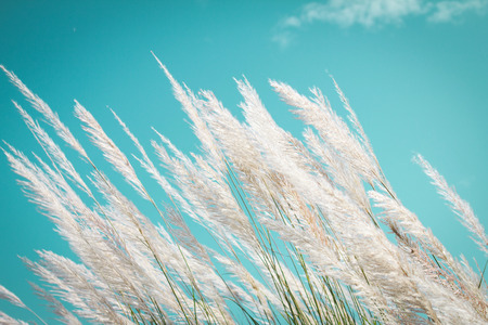 viento: suavidad abstracta Hierba pluma blanca con el cielo retro fondo azul y el espacio