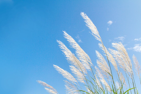 abstract softness white Feather Grass with sky blue background and space Zdjęcie Seryjne