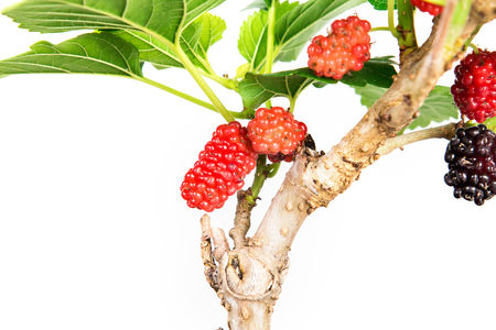 red Mulberry fruit on the tree