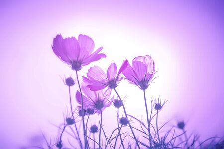 pretty: soft focus on the cosmos flowers