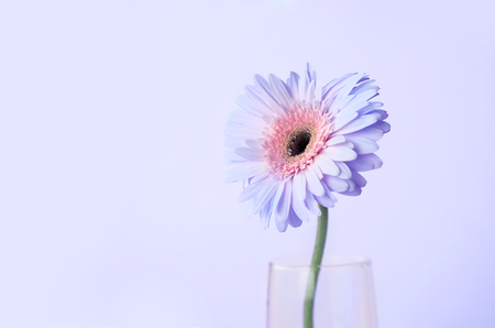 Close up and selective focus of the sweet pink  Gerbera flower, romantic and fresh moment photo