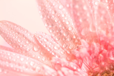 Close up and selective focus of the sweet pink  Gerbera flower with water droplets photo