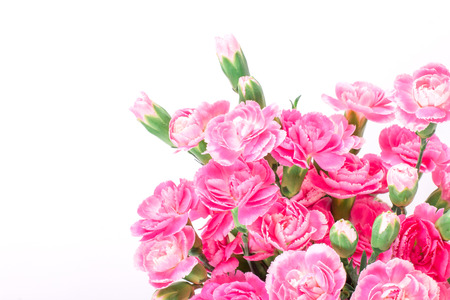 beautiful blooming of the pink carnation flowers on a white background with text space