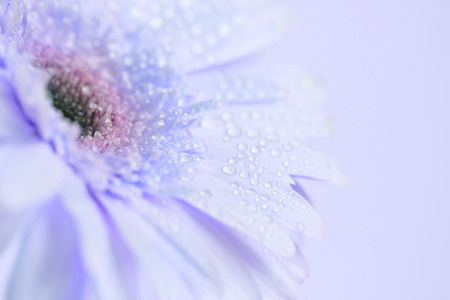 gardening: Close up and selective focus of the sweet pink  Gerbera flower with water droplet, romantic and fresh moment