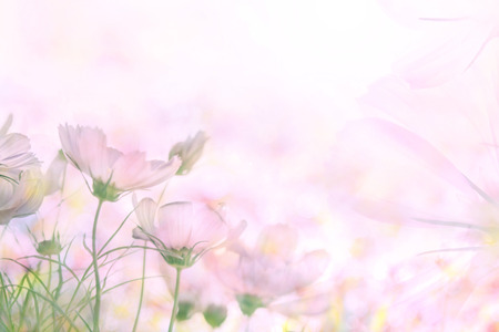 abstract soft sweet pink flower background from cosmos flowers