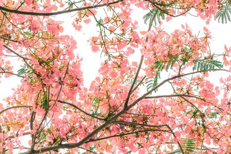 spiritual background: the Flam-boyant flower background Stock Photo