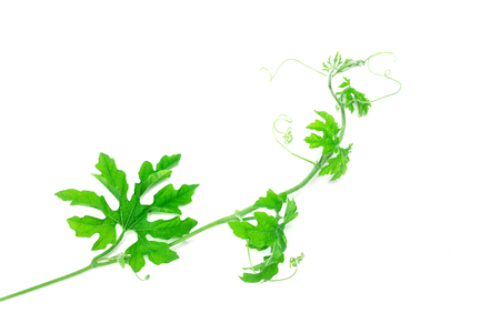 creeping plant: the green creeping plant on white background Stock Photo