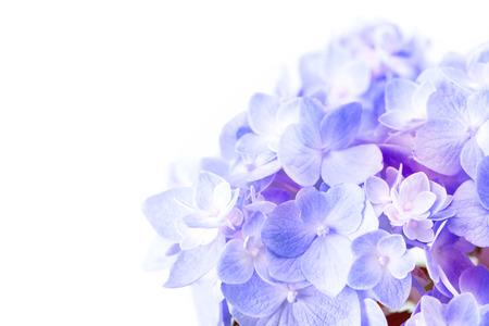 白の背景、選択と集中に甘い紫青アジサイの花