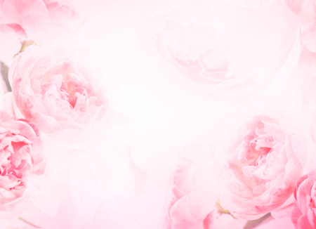 soft sweet pink rose flowers for love romance background Reklamní fotografie