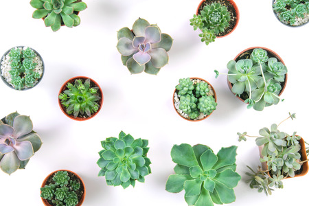 pattern of mixed succulents plant in pot on white background , overhead or top view Archivio Fotografico