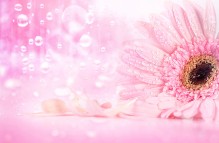 softness: sweet pink Gerbera flower with rain water droplet, romantic and fresh moment, softness and selective focus