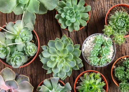 arrangement of the succulents or cactus on wooden background, overhead or top view